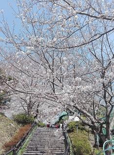 陣笠山桜.jpg