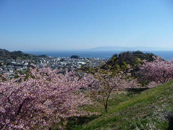 駿河湾と河津桜.jpg